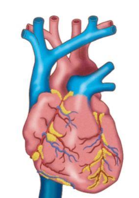 Sydän ja hengitystiet
